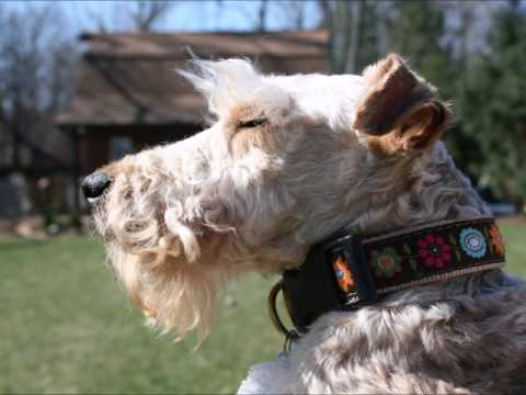 LAKELAND TERRIERS RESCUED FROM PUPPY MILL LEARN TO PLAY