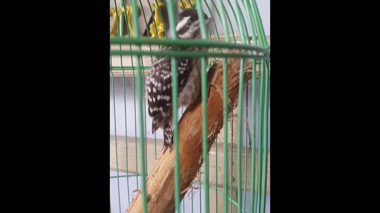 Pelatuk Sampit Gacor Master Kopral Youtube