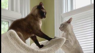 ¡Los adorables gatos birmanos son una pareja unida! Lindos gatos jugando, bailando y acurrucándose