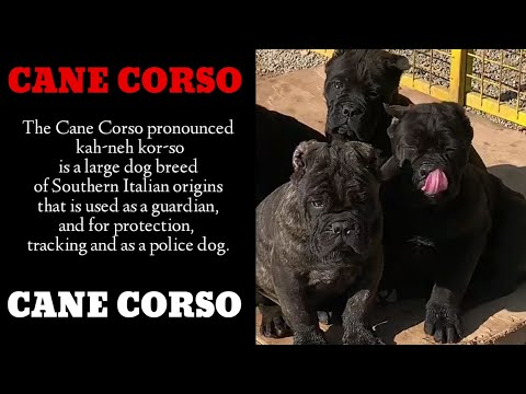 the-best-cane-corso-puppies-ready-from-top-cane-corso-breeders-/-kennel-globally.-the-best-quality