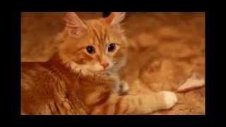 Рыжий кот и мясо.
