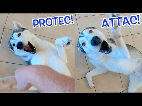 siberian-husky-fights-a-human!-(challenge-accepted)