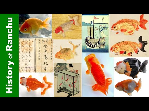 The History Of Ranchu Goldfish | 蘭鋳の歴史 | 兰寿的起源👉