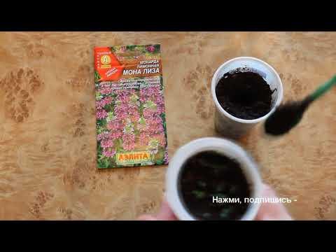 Монарда (вкус бергамота). Рассада из семян.UC0BtQare8yG6Lj6HjK5cmHQ