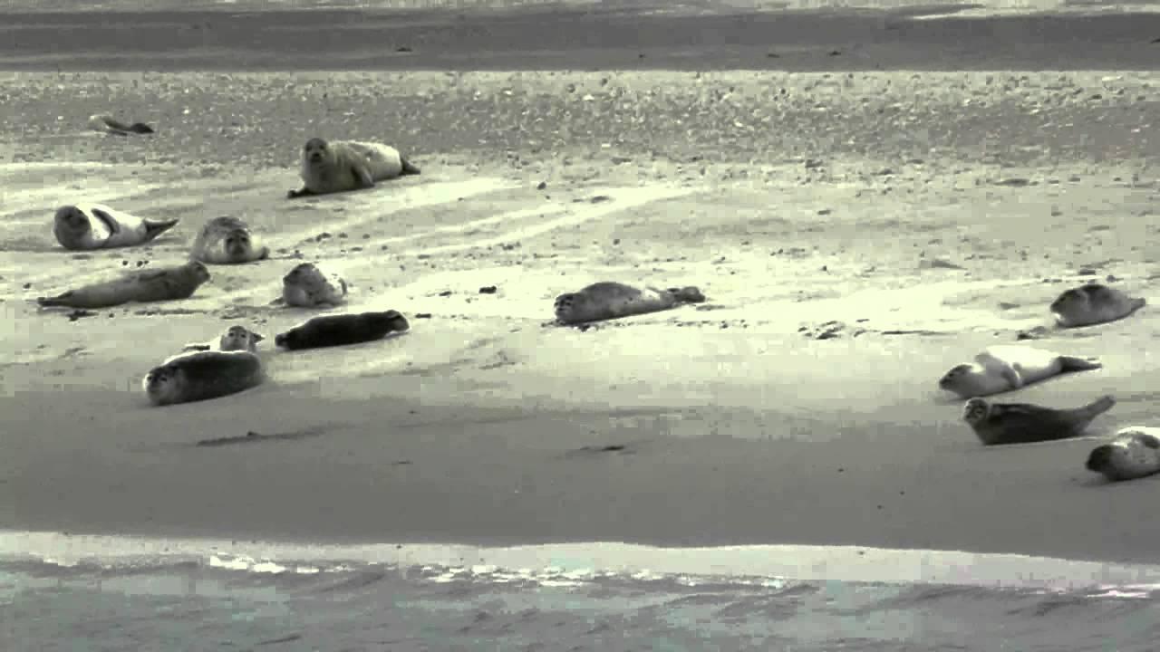 Seehunde auf Norderney ... - YouTube