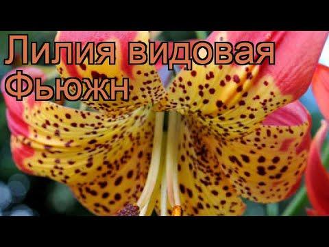 Лилия видовая Фьюжн (lilium) 🌿 видовая лилия Фьюжн обзор: как сажать, луковицы лилии Фьюжн