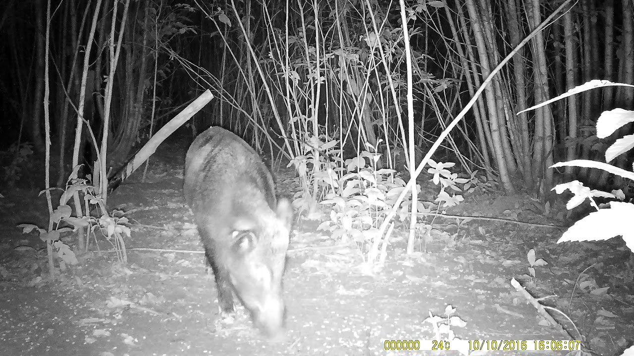 Download Un gros sanglier solitaire camera chasse