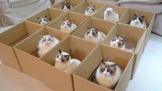 Boxful of Ragdolls
