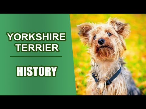 Yorkshire Terrier History