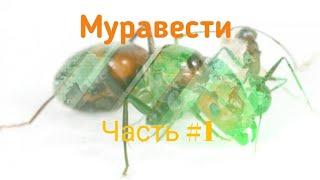 Муравести #1//огляд колоній//antilator