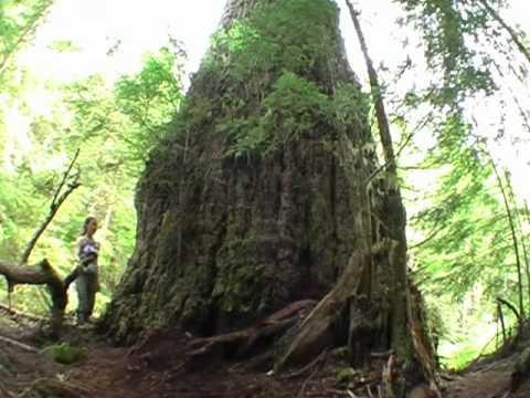World S Largest Douglas Fir Tree The Red Creek Fir
