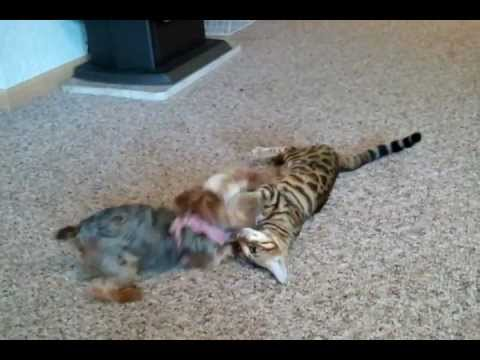 Tiny yorkie plays with Bengal Cat