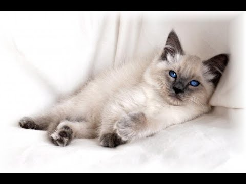 The Most Intelligent? It Could Be! | Balinese Cat