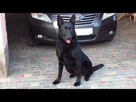 Знакомьтесь, Блэк.😎 Восточноевропейская овчарка 1 год. East European Shepherd Dog 1 year.