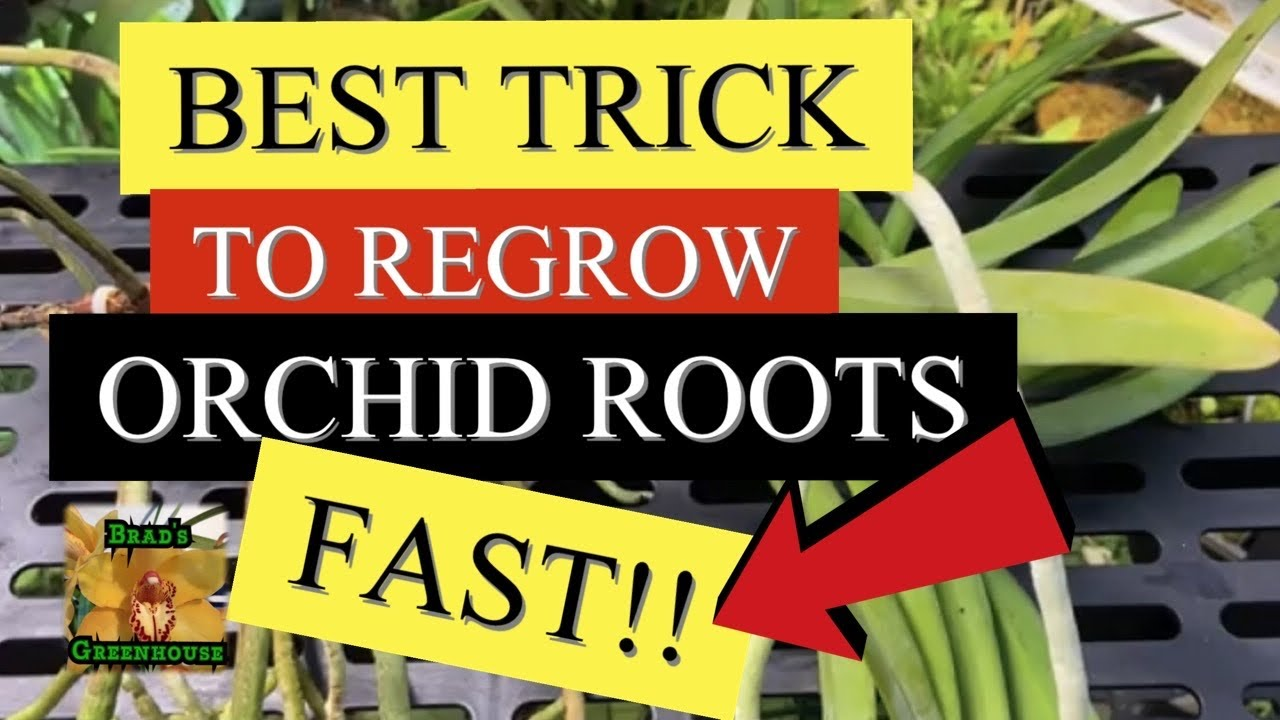 How To Regrow Orchid Roots Fast Vanda Orchid With No Roots Vanda
