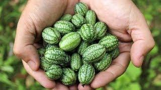 Wie man Cucamelons anbaut - Die aufregendste Frucht und ihre Wirkung