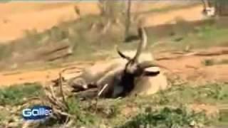 козы, которые при испуге падают в обморок)