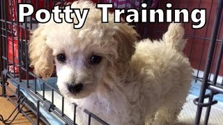 How To Potty Train A Poodle Puppy - Poodle House Training Tips - Housebreaking Poodle Puppies Fast