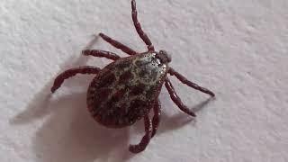 Ixodes ricinus - Dangerous Ticks Running & Jumping Under Microscope