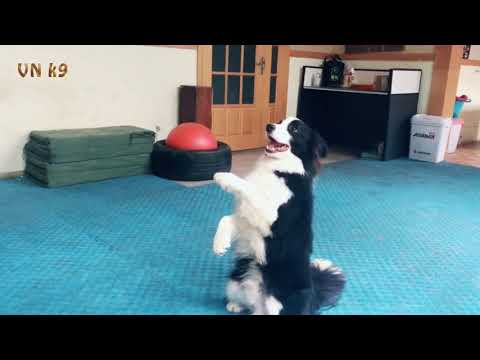 Border Collie dog chase flying disks   hot dog agility