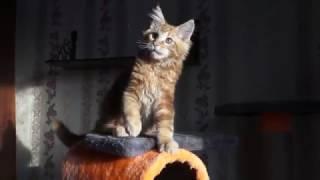 ЛИРИКУМ Абакан Мордович  3 мес - крупный котенок мейн-кун