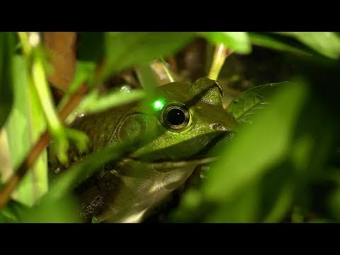 BULLFROG HUNTING WITH A PISTOL