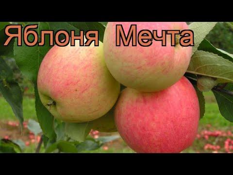 Яблоня обыкновенная Мечта (malus) 🌿 яблоня Мечта обзор: как сажать саженцы яблони Мечта
