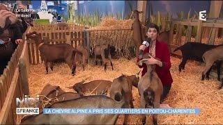 ANIMAUX : La chèvre Alpine a pris ses quartiers en Poitou-Charentes