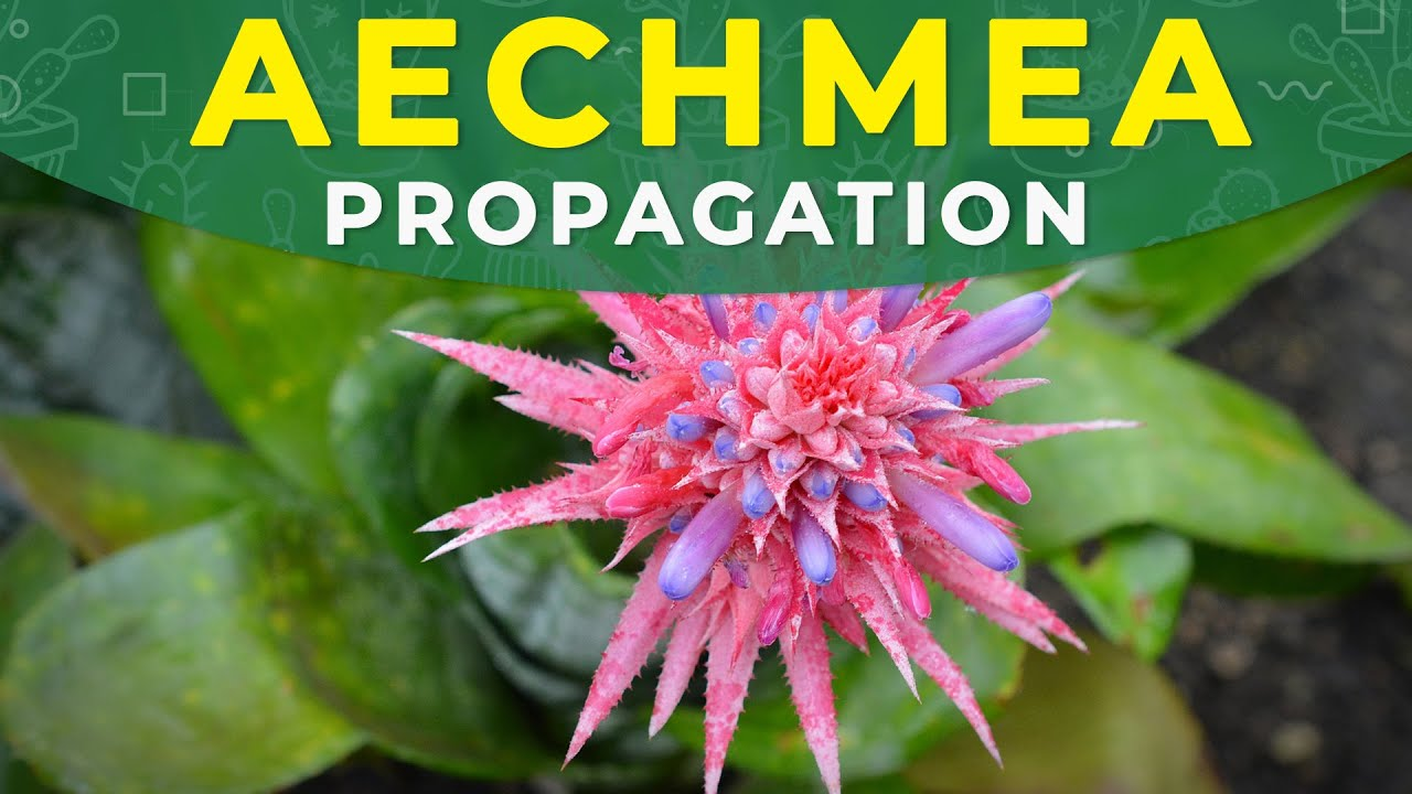 How to propagate aechmea fasciata dividing pups roots for Aechmea fasciata