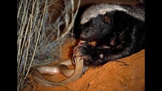 Life of one Honey Badger. Natgeo Wild. Best video