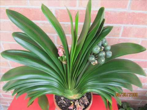 Clivia Plant 2 YouTube