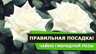 Чайно гибридная роза ПОЛАРШТЕРН! Правильная посадка