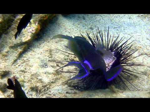 Queen Triggerfish Eats Sea Urchin