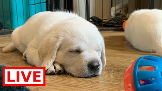 LIVE STREAM Puppy Cam! Cute Labrador Puppies at Play!