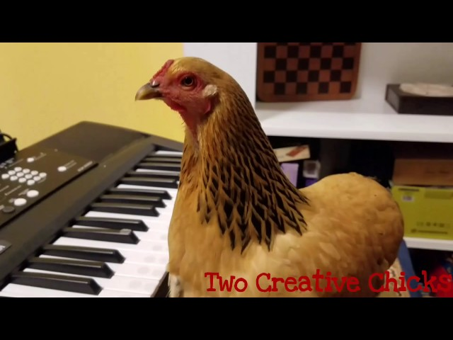 """Patriotic Chicken Playing """"America the Beautiful"""" on Keyboard Piano"""