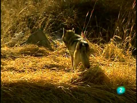 Lobos (Documental) Sobreviviendo en la naturaleza_Español-Castellano