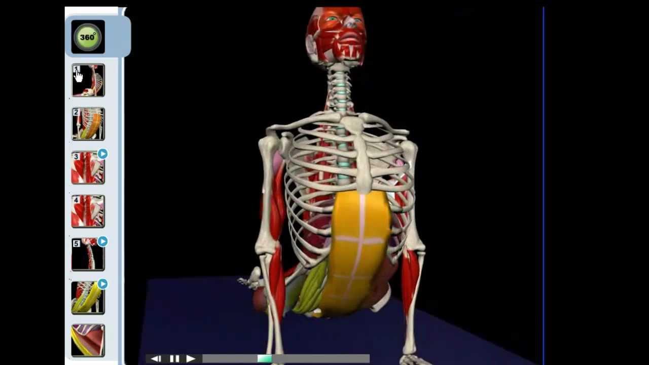 Yoga Upward Facing Dog | Yoga Anatomy - YouTube