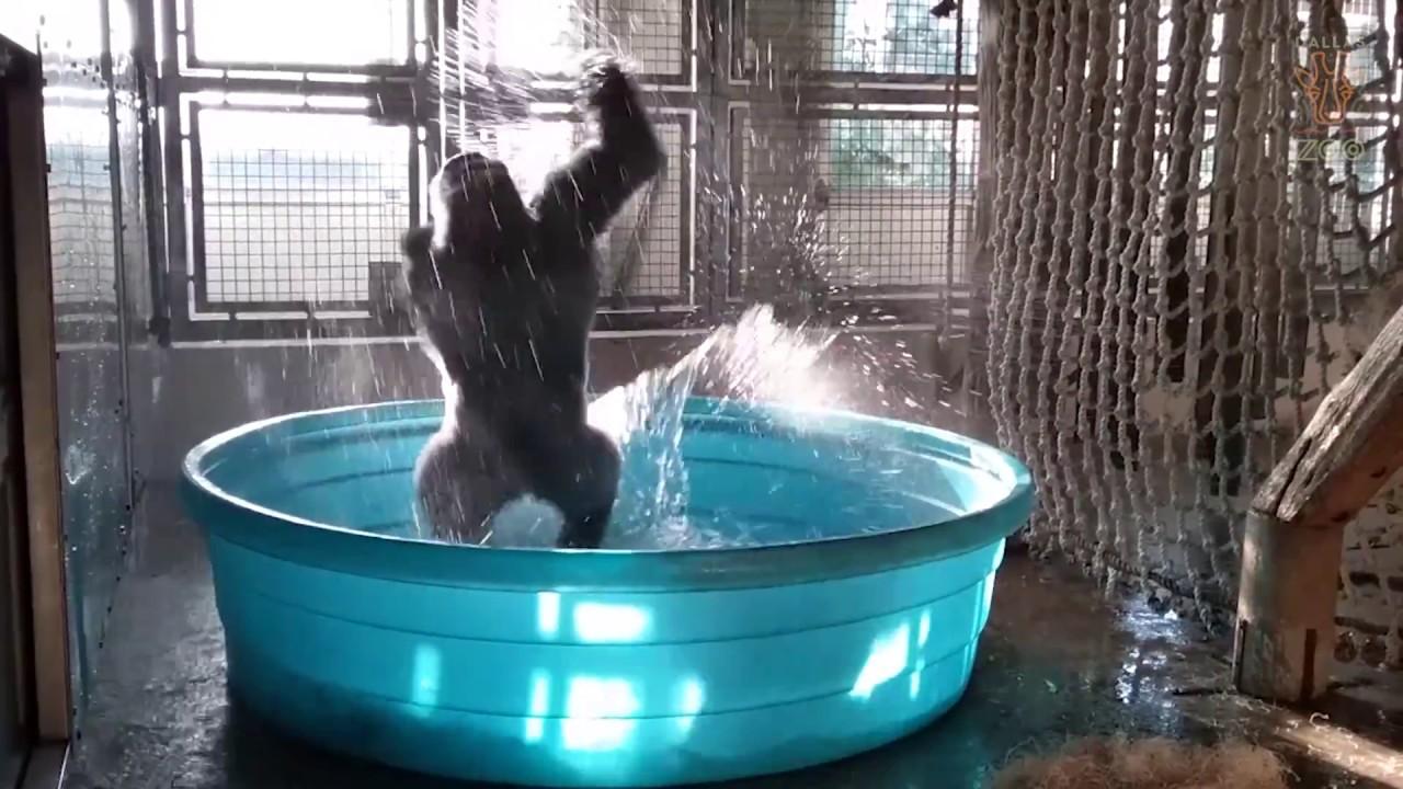 breakdancing gorilla enjoys pool behind the scenes youtube