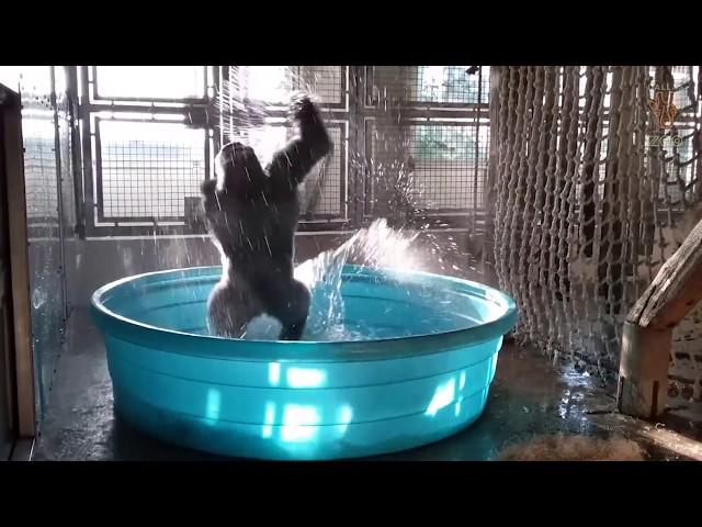 Este gorila baila de alegría cuando se mete en la piscina