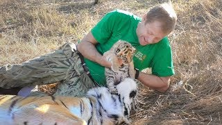 Человек и Тигр. Тигрята открыли глазки. Тайган. Tiger cubs opened eyes. Friendship man and tiger