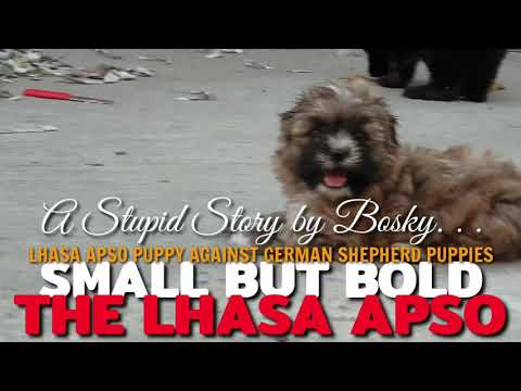 lhasa-apso-puppy-versus-gsd-(german-shepherd-puppy).-funny-clip-on-dogs.-funtimes-at-the-office.