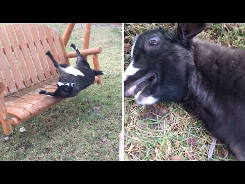 Excited Goat Faints On Swing