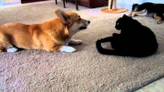 Corgi Talks To Cat