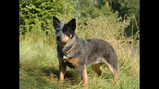***Australian Cattle Dog Puppy Potty-Training Free-Mini Course***