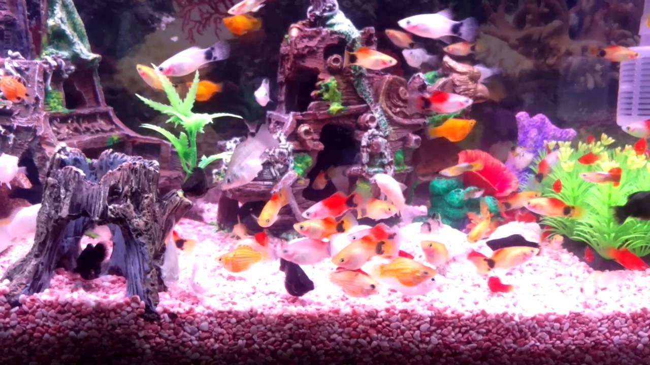 給鼠魚與蝦子的沉體飼料被球魚搶去吃了....