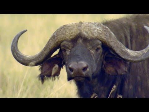 Africa's Deadliest: World's Greatest Cape Buffalo Hunts