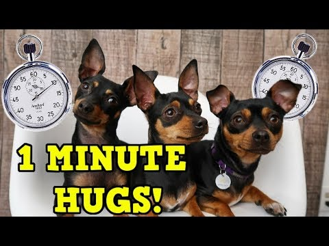 Hugging Our Dogs For 1 Minute! - ChiPin (Chihuahua/Miniature Pinscher) Dogs