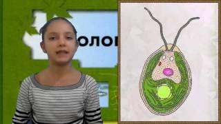 Жгутиковые, биология, 7 класс