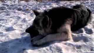 Русская овчарка [Russian shepherd]