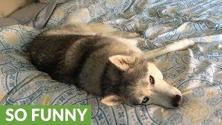 Stubborn husky won't get out of bed
